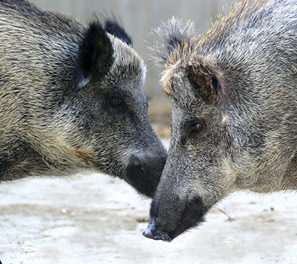 Picture of two boars.